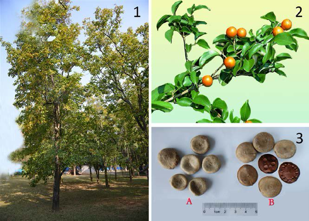 strychnos-nux-vomica-l-1-whole-plant-2-the-fruit-and-3-the-seeds-a-crude-seeds-16284780097721423573754
