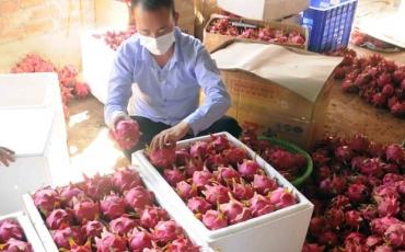 Trung Quốc tạm dừng nhập khẩu thanh long Việt Nam do phát hiện virus SARS-CoV-2 trên bao bì