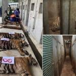 Bên trong tầng hầm bí mật nuôi nhốt trái phép 17 con hổ ở Nghệ An có gì?
