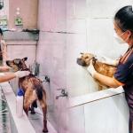 Nữ tình nguyện viên vượt qua nỗi sợ, đảm nhiệm việc chăm sóc cho mèo cho F0 cách ly ở TP.HCM