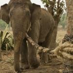 Dây xích nhỏ con voi to - Câu chuyện là một bài học thâm thúy mà ai cũng nên biết