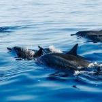 Đàn cá heo bảo vệ và cứu sống người đàn ông mất tích trên biển