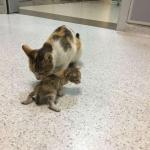 Mèo mẹ đưa con tới 'cầu cứu' bác sĩ, ai ngờ câu chuyện phía sau quá đáng yêu