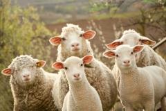 Câu chuyện 'Con sói và bầy cừu': Cuộc sống quá bình lặng triệt tiêu sức phấn đấu của bạn